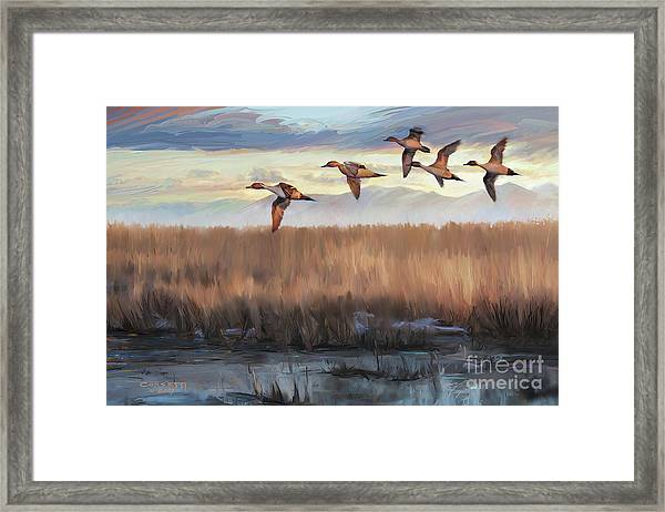 Pintail Fly By Framed Print