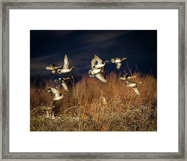 Pintails And Wigeons Framed Print