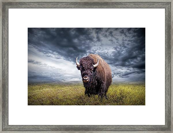 Plains Buffalo On The Prairie Framed Print