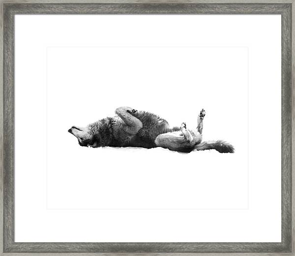 Playful Gray Wolf Photo Framed Print