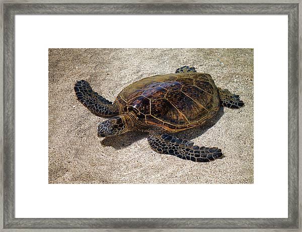 Playful Honu Framed Print