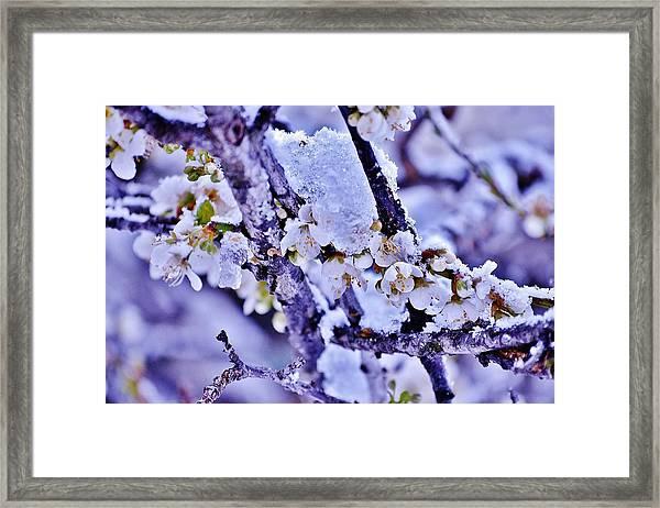 Plum Blossoms In Snow Framed Print