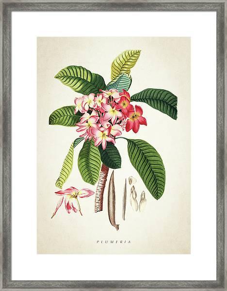 Plumeria Botanical Print Framed Print