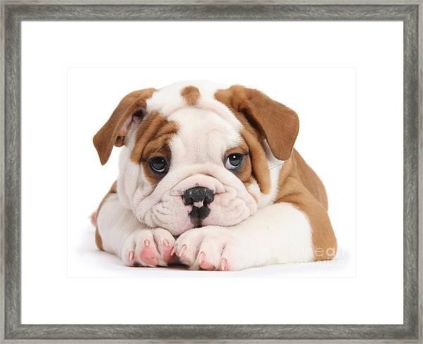 Po-faced Bulldog Framed Print