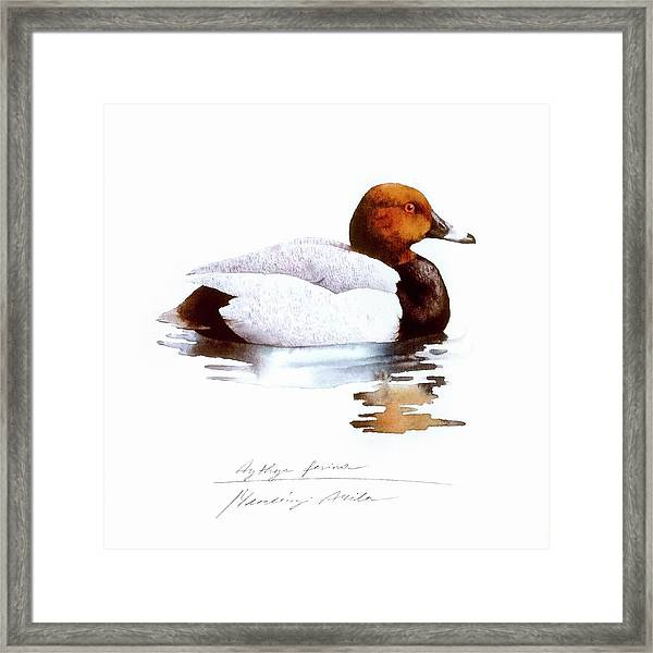 Pochard Framed Print