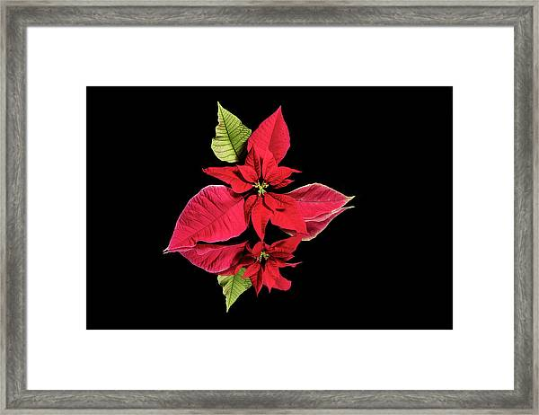 Poinsettia Reflection  Framed Print