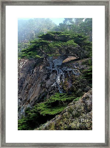 Point Lobos Veteran Cypress Tree Framed Print