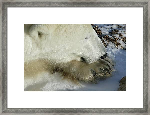 Polar Bear Close Up Framed Print