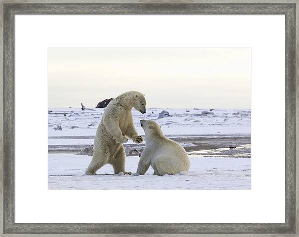 Polar Bear Play-fighting Framed Print