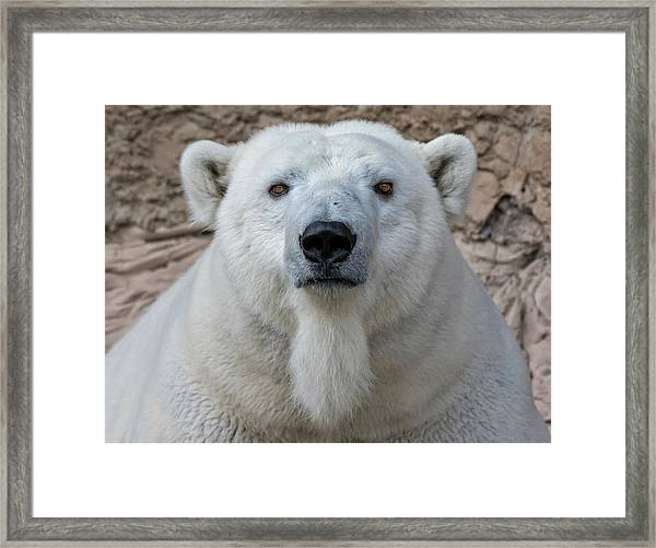 Polar Bear Framed Print