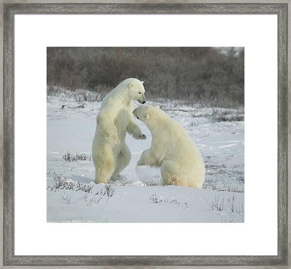 Polar Bears Jousting Framed Print