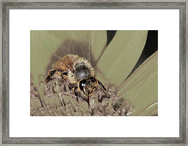 Pollinating Bee Framed Print