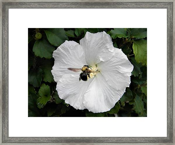 Pollination  Framed Print