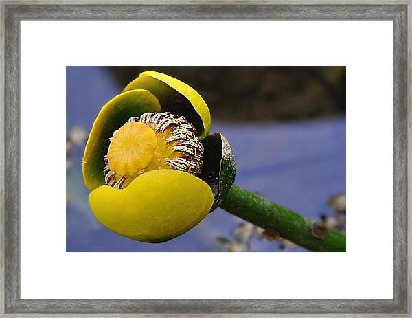 Pond Lily In Bloom Framed Print