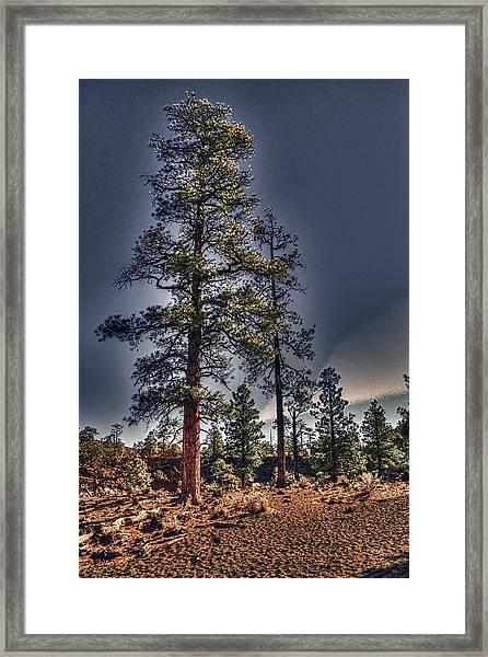 Ponderosa Pines At The Bonito Lava Flow Framed Print
