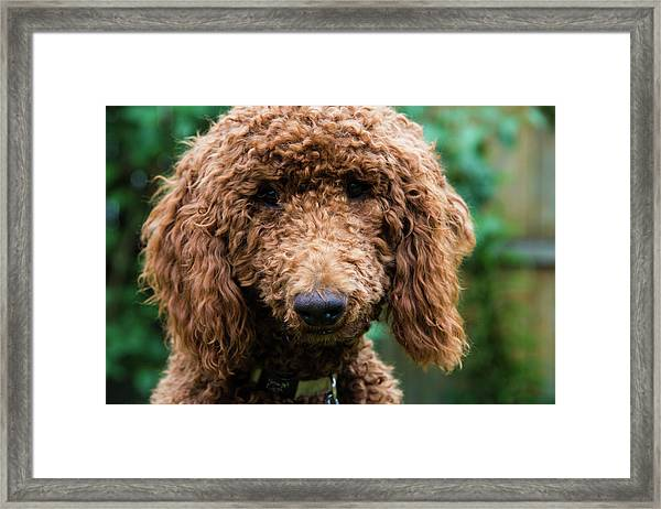 Poodle Pup Framed Print