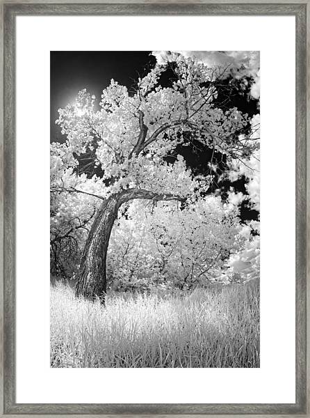 Poplars Under The Sun Framed Print