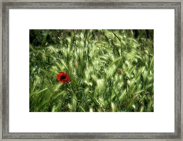 Poppies In Wheat Framed Print