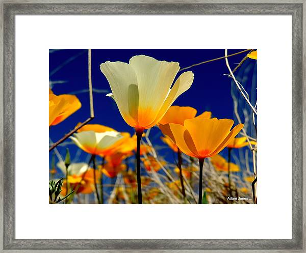 Poppy Framed Print by Adam Jones