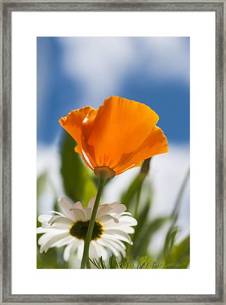 Poppy And Daisies Framed Print