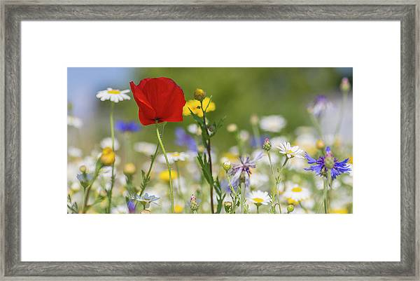 Poppy In Meadow  Framed Print
