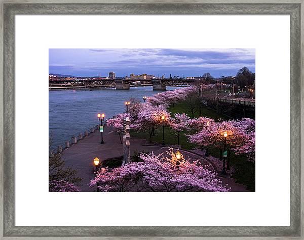 Portland Cherry Blossoms Framed Print