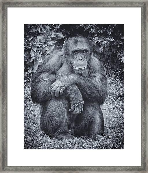 Portrait Of A Chimp Framed Print