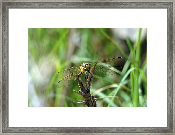Portrait Of A Dragonfly Framed Print