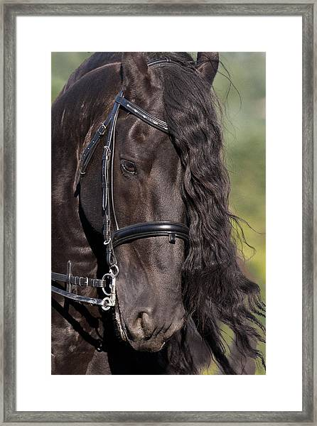 Portrait Of A Friesian Framed Print