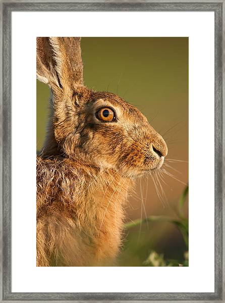 Portrait Of A Hare Framed Print