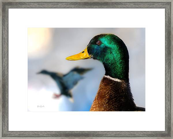 Framed Print featuring the photograph Portrait Of Duck 2 by Bob Orsillo