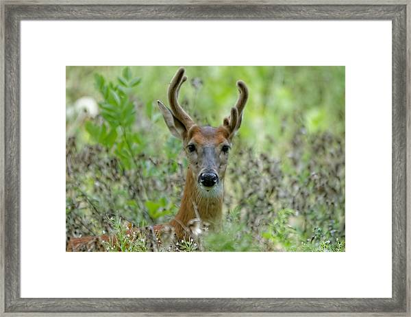 Portriat Of Male Deer Framed Print