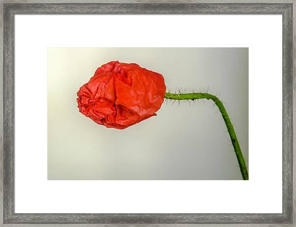 Posing Fire Red Poppy Framed Print