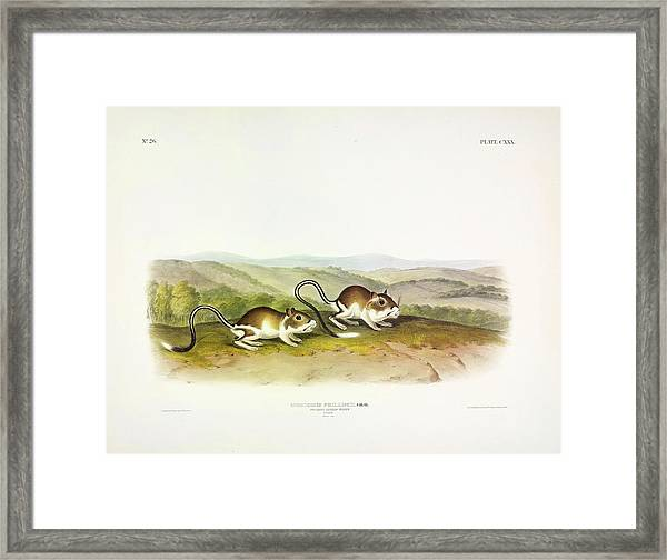 Pouched Jerboa Mouse Framed Print