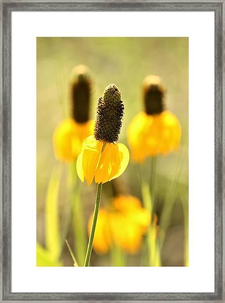 Prairie Coneflower In Morning Light Framed Print