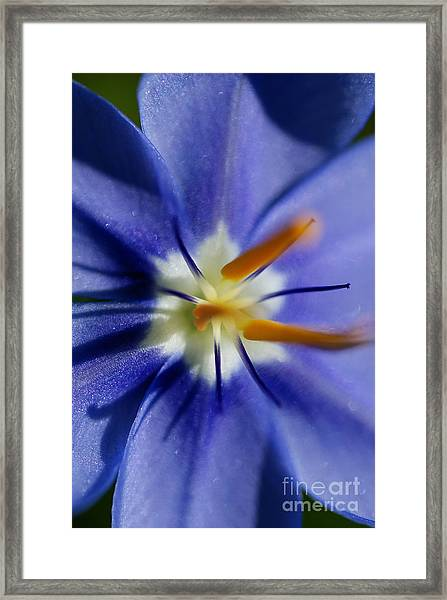 Pretty Blue Framed Print by Iris Greenwell