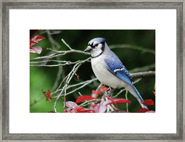 Pretty Blue Jay Framed Print