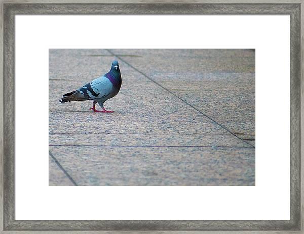 Pretty Pigeon Posing On A Sidwalk Framed Print