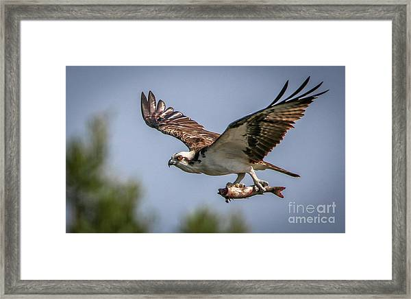 Framed Print featuring the photograph Prey In Talons by Tom Claud