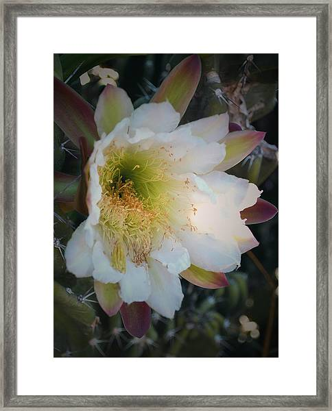 Prickley Pear Cactus Framed Print