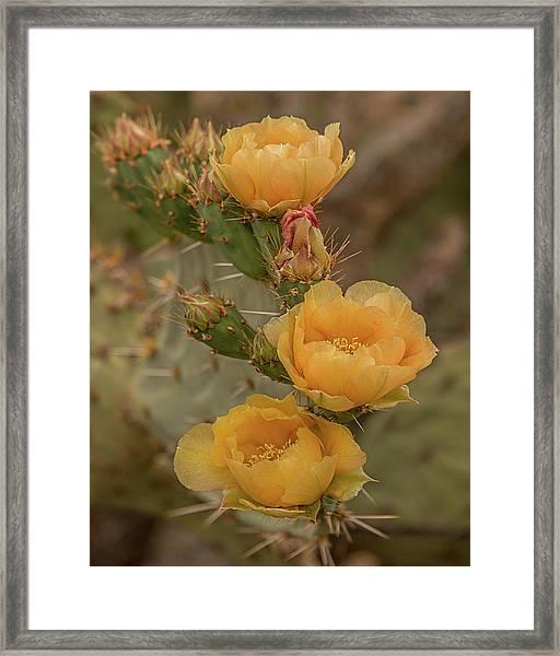 Prickly Pear Blossom Trio Framed Print