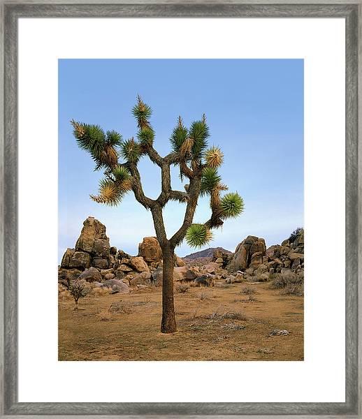 Profile Of A Joshua Tree Framed Print