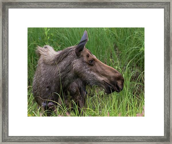 Profile Of Wild Moose Framed Print
