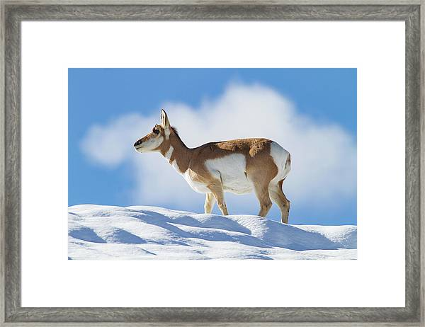 Pronghorn Doe On Snowy Ridge Framed Print