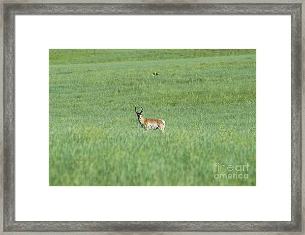 Pronghorn In A Sea Of Green Framed Print