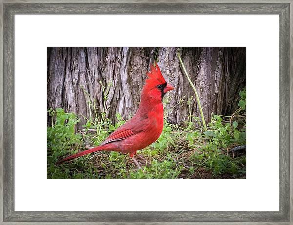 Proud Cardinal Framed Print