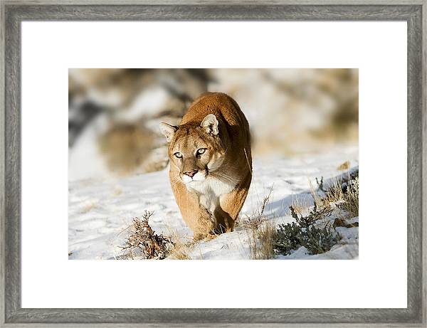 Prowling Mountain Lion Framed Print