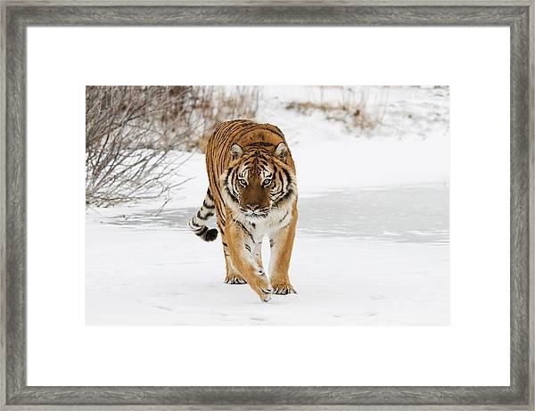 Prowling Tiger Framed Print