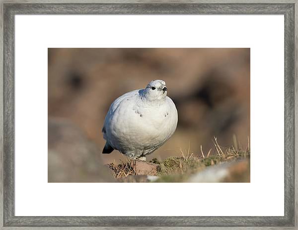 Ptarmigan Going For A Stroll Framed Print