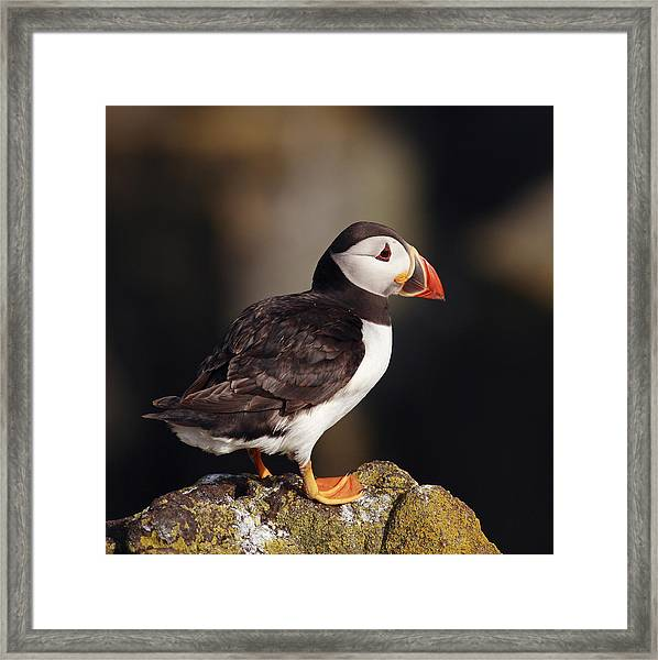 Puffin On Rock Framed Print